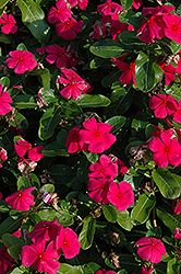 Titan™ Punch Vinca (Catharanthus roseus 'Titan Punch') at Stauffers Of Kissel Hill