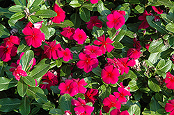 Titan™ Burgundy Vinca (Catharanthus roseus 'Titan Burgundy') at Stauffers Of Kissel Hill