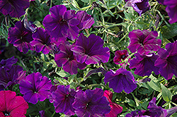 Suncatcher Midnight Blue Petunia (Petunia 'Suncatcher Midnight Blue') at Stauffers Of Kissel Hill