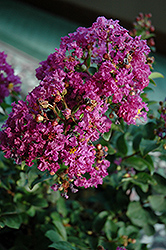Purple Magic Crapemyrtle (Lagerstroemia 'Purple Magic') at Stauffers Of Kissel Hill