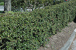 Dragon Lady Holly (Ilex x aquipernyi 'Meschick') at Stauffers Of Kissel Hill