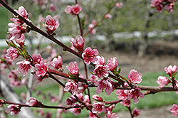 Reliance Peach (Prunus persica 'Reliance') at Stauffers Of Kissel Hill