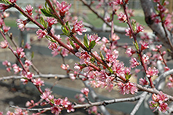 Redhaven Peach (Prunus persica 'Redhaven') at Stauffers Of Kissel Hill