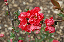 Double Take Pink™ Flowering Quince (Chaenomeles speciosa 'Double Take Pink Storm') at Stauffers Of Kissel Hill