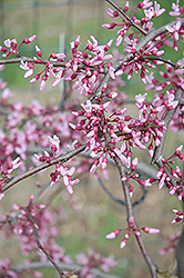Cascading Hearts Redbud (Cercis canadensis 'Cascading Hearts') at Stauffers Of Kissel Hill