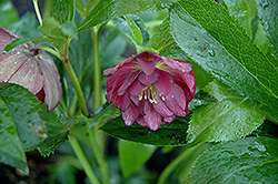 Midnight Ruffles Hellebore (Helleborus 'Midnight Ruffles') at Stauffers Of Kissel Hill