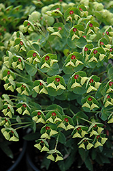 Tiny Tim Spurge (Euphorbia 'Tiny Tim') at Stauffers Of Kissel Hill