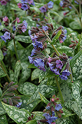 High Contrast Lungwort (Pulmonaria 'High Contrast') at Stauffers Of Kissel Hill