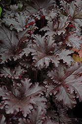 Black Taffeta Coral Bells (Heuchera 'Black Taffeta') at Stauffers Of Kissel Hill