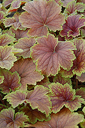 Delta Dawn Coral Bells (Heuchera 'Delta Dawn') at Stauffers Of Kissel Hill