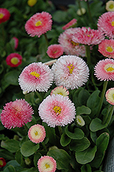 Tasso Strawberries And Cream English Daisy (Bellis perennis 'Tasso Strawberries And Cream') at Stauffers Of Kissel Hill