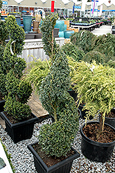 Green Mountain Boxwood (spiral form) (Buxus 'Green Mountain (spiral)') at Stauffers Of Kissel Hill