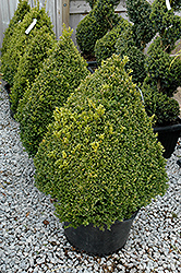 Green Mountain Boxwood (pyramid form) (Buxus 'Green Mountain (pyramid)') at Stauffers Of Kissel Hill