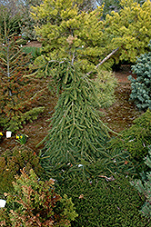 Farnsburg Norway Spruce (Picea abies 'Farnsburg') at Stauffers Of Kissel Hill