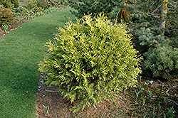 Golden Globe Arborvitae (Thuja occidentalis 'Golden Globe') at Stauffers Of Kissel Hill