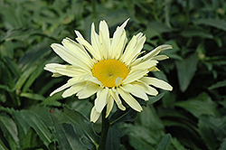 Banana Cream Shasta Daisy (Leucanthemum x superbum 'Banana Cream') at Stauffers Of Kissel Hill