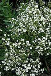 Festival™ Star Baby's Breath (Gypsophila paniculata 'Festival Star') at Stauffers Of Kissel Hill