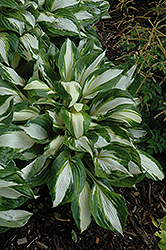 Vulcan Hosta (Hosta 'Vulcan') at Stauffers Of Kissel Hill