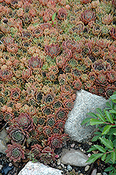 Silverine Hens And Chicks (Sempervivum 'Silverine') at Stauffers Of Kissel Hill