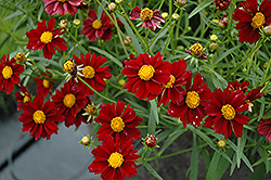 Mercury Rising Tickseed (Coreopsis 'Mercury Rising') at Stauffers Of Kissel Hill