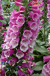 Dalmatian Purple Foxglove (Digitalis purpurea 'Dalmatian Purple') at Stauffers Of Kissel Hill