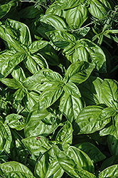 Genovese Compact Basil (Ocimum basilicum 'Genovese Compact') at Stauffers Of Kissel Hill