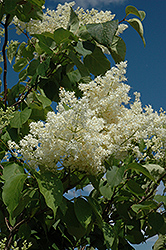 Ivory Silk Tree Lilac (tree form) (Syringa reticulata 'Ivory Silk (tree form)') at Stauffers Of Kissel Hill