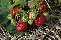 Northeaster Strawberry (Fragaria 'Northeaster') at Stauffers Of Kissel Hill