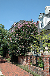 Zuni Crapemyrtle (Lagerstroemia 'Zuni') at Stauffers Of Kissel Hill