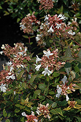 Little Richard Glossy Abelia (Abelia x grandiflora 'Little Richard') at Stauffers Of Kissel Hill