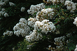 Acoma Crapemyrtle (Lagerstroemia 'Acoma') at Stauffers Of Kissel Hill