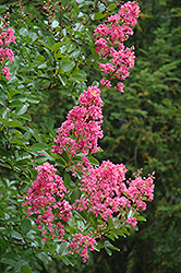 Hopi Crapemyrtle (Lagerstroemia 'Hopi') at Stauffers Of Kissel Hill