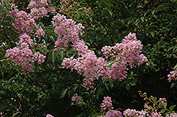 Muskogee Crapemyrtle (Lagerstroemia 'Muskogee') at Stauffers Of Kissel Hill