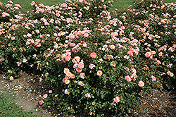 Apricot Drift® Rose (Rosa 'Meimirrote') at Stauffers Of Kissel Hill
