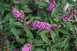 Lo And Behold® Pink Micro Chip Dwarf Butterfly Bush (Buddleia 'Lo And Behold Pink Micro Chip') at Stauffers Of Kissel Hill