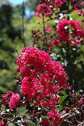Pink Velour Crapemyrtle (Lagerstroemia indica 'Whit III') at Stauffers Of Kissel Hill