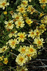 Galaxy Tickseed (Coreopsis 'Galaxy') at Stauffers Of Kissel Hill