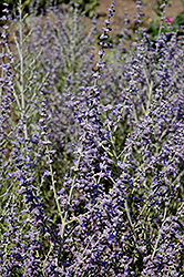 Peek-A-Blue Russian Sage (Perovskia atriplicifolia 'Peek-A-Blue') at Stauffers Of Kissel Hill