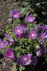 Peachie's Pick Aster (Stokesia laevis 'Peachie's Pick') at Stauffers Of Kissel Hill