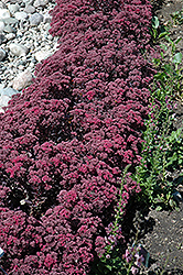 Dazzleberry Stonecrop (Sedum 'Dazzleberry') at Stauffers Of Kissel Hill