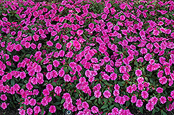 Bounce™ Pink Flame Impatiens (Impatiens 'Balboufink') at Stauffers Of Kissel Hill