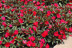 Divine™ Scarlet Bronze Leaf New Guinea Impatiens (Impatiens hawkeri 'Divine Scarlet Bronze Leaf') at Stauffers Of Kissel Hill