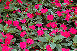 Bounce™ Cherry Impatiens (Impatiens 'Balboucher') at Stauffers Of Kissel Hill