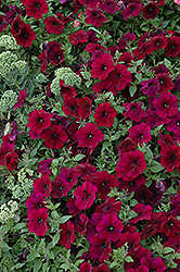 Easy Wave® Burgundy Velour Petunia (Petunia 'Easy Wave Burgundy Velour') at Stauffers Of Kissel Hill