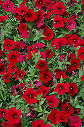 Easy Wave Red Velour Petunia (Petunia 'Easy Wave Red Velour') at Stauffers Of Kissel Hill