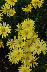 Voltage™ Yellow African Daisy (Osteospermum 'Voltage Yellow') at Stauffers Of Kissel Hill