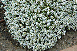 Clear Crystal White Sweet Alyssum (Lobularia maritima 'Clear Crystal White') at Stauffers Of Kissel Hill