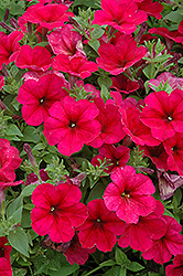 Easy Wave Berry Velour Petunia (Petunia 'Easy Wave Berry Velour') at Stauffers Of Kissel Hill
