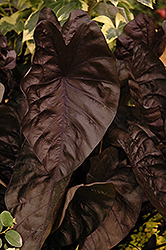 Puckered Up Elephant Ear (Colocasia esculenta 'Puckered Up') at Stauffers Of Kissel Hill