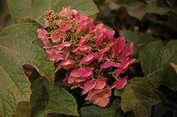 Ruby Slippers Hydrangea (Hydrangea quercifolia 'Ruby Slippers') at Stauffers Of Kissel Hill